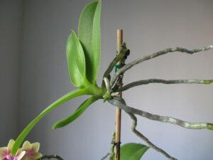 Storczyk - Phalaenopsis - keiki