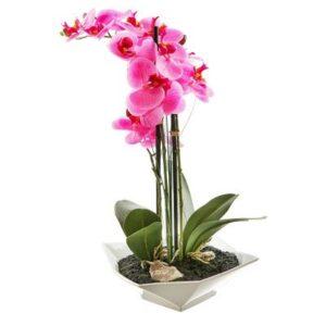 Storczyk - Phalaenopsis - Kreator Kwiatów