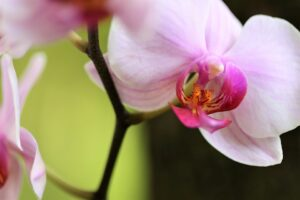 Storczyk - Phalaenopsis