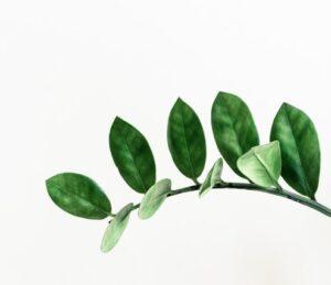 Zamiokulkas – niezniszczalna roślina domowa