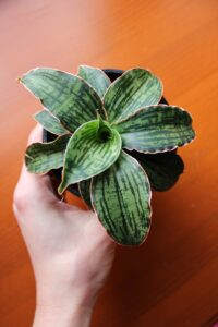 Sansewieria – piękna i wyrozumiała roślina ze stali